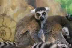 环纹尾的狐猴杂乱的一团  库存图片