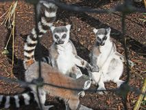 环纹尾的狐猴狐猴catta 免版税库存照片