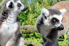 环纹尾的狐猴猴子 免版税库存图片