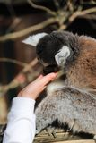 环纹尾的狐猴舔孩子的手 图库摄影