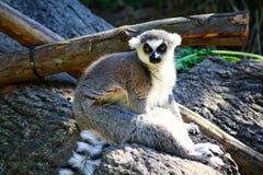 环纹尾的狐猴,狐猴catta 免版税图库摄影