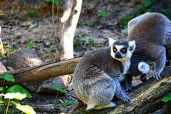 环纹尾的狐猴,狐猴catta 免版税库存图片