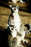 环纹尾的狐猴(狐猴catta) 免版税库存照片