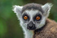环纹尾的狐猴kata,关闭环纹尾的狐猴,马达加斯加,画象 免版税库存图片