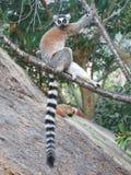"""环纹尾的狐猴†""""坐分支-马达加斯加 免版税库存照片"""