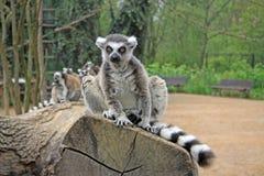 环纹尾的狐猴坐一棵树在动物园里 免版税库存照片