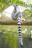 环纹尾的狐猴坐树 库存照片