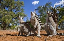 环纹尾的狐猴坐陆运 马达加斯加 库存图片