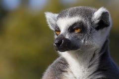 环纹尾的狐猴(狐猴catta) 库存图片