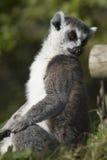 环纹尾的狐猴(狐猴catta) 免版税库存图片
