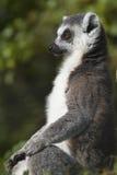 环纹尾的狐猴(狐猴catta) 图库摄影