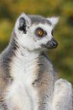 环纹尾的狐猴(狐猴catta) 免版税图库摄影