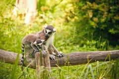 环纹尾的狐猴狐猴catta 库存图片