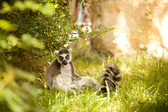 环纹尾的狐猴狐猴catta 免版税图库摄影