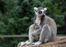 环纹尾的狐猴& x28; 狐猴catta& x29; 免版税图库摄影