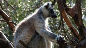 环纹尾的狐猴的画象 免版税库存照片