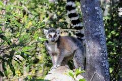 环纹尾的狐猴,狐猴catta, anja 免版税库存照片
