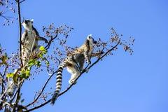 环纹尾的狐猴,狐猴catta, anja 库存图片