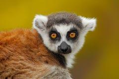 环纹尾的狐猴,狐猴catta画象,有黄色清楚的背景 库存图片