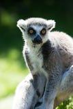环纹尾的狐猴 免版税图库摄影