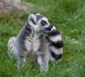 环纹尾的狐猴 图库摄影