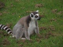 环纹尾的狐猴 库存图片