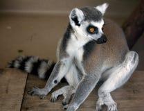 环纹尾的狐猴 库存照片