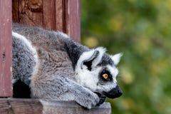 环纹尾的狐猴catta看 免版税库存照片