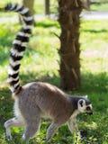环纹尾的狐猴Lemure卡塔 库存照片