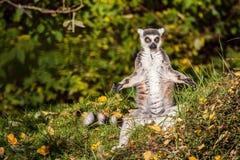 环纹尾的狐猴sunbath 库存图片