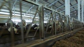 现代奶牛场 母牛在笔站立并且吃干草 股票录像