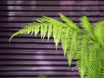 现代庭院: 蕨叶子紫色墙壁 库存照片