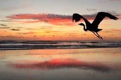现出轮廓伟大蓝色的苍鹭的巢飞行到海滩日出 图库摄影