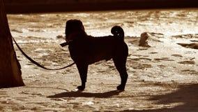 现出轮廓战斗的狗危险狗被栓对树皮带 冬天战斗的狗 与户外狗战斗的问题 股票视频