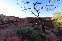 现出轮廓死的树在Canyon, Outhback澳大利亚人国王 免版税图库摄影