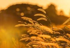 现出轮廓在日落的热带草花或setaceum狼尾草喷泉草 免版税库存图片