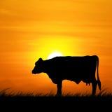 现出轮廓站立在草甸的母牛在日落 库存照片