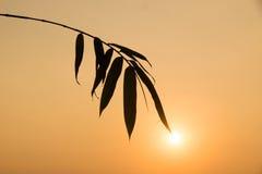 现出轮廓竹叶子和阳光在晚上时间 库存图片