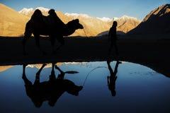现出轮廓骆驼反射并且下雪山脉Nubra谷拉达克,印度 免版税库存照片