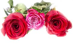现在三朵玫瑰两或红色和桃红色和白色与一些绿色 免版税库存照片