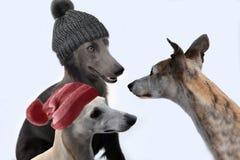 现在那是否是现代的?与羊毛的狗失误盖帽 图库摄影