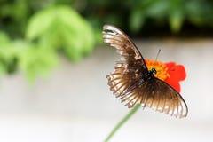 现在飞行蝴蝶 免版税图库摄影