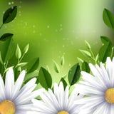 现实春黄菊背景 向量例证
