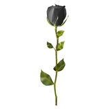 现实黑色玫瑰 10 eps 库存图片