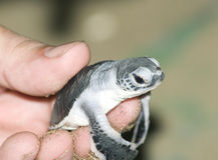 现有量人乌龟 免版税库存图片
