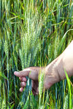 现有量人s麦子 免版税图库摄影