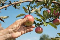 现有量摘从结构树的一个红色苹果 免版税库存照片
