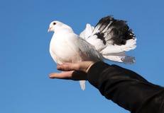 现有量鸽子 免版税图库摄影