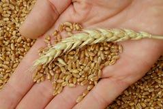 现有量麦子 免版税库存照片