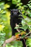 现行犯绢毛猴- (Saguinus麦得斯) 图库摄影
